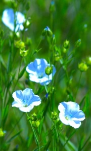 Pretty blue flowers of the Flax Plant
